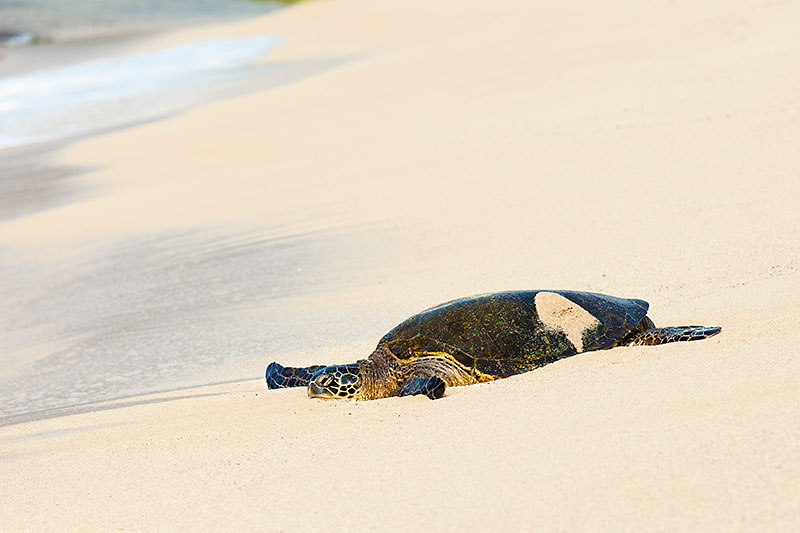 Hawaiian Green Sea Turtle basking on a beach in Hawaii