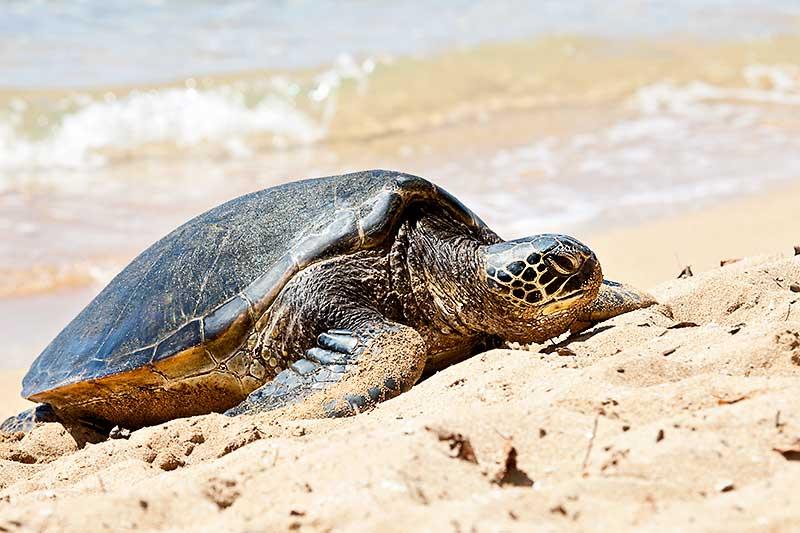 Hawaiian Green Sea Turtle basking on a beach in Hawaii