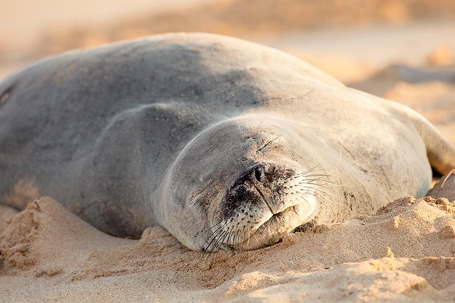 Hawaiian Monk Seal sleeping on a beach on Kauai, Hawaii. Endangered Species